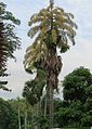 Corypha umbraculifera-- the Suicide Palm (29319843320).jpg