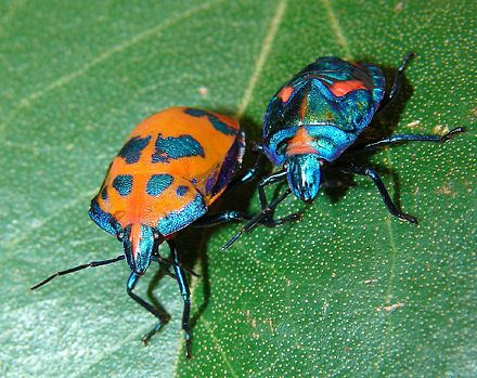 Female and nymph Cotton Harlequin Bug - Cotton