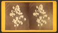 Cotton plant, by J. A. Palmer.png