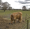 Cow (5380180525).jpg