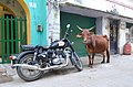 Cow And Motorcycle (244463543).jpeg