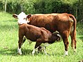Cow and calf - geograph.org.uk - 876027.jpg