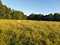 Cows on Stourbridge Common.jpg