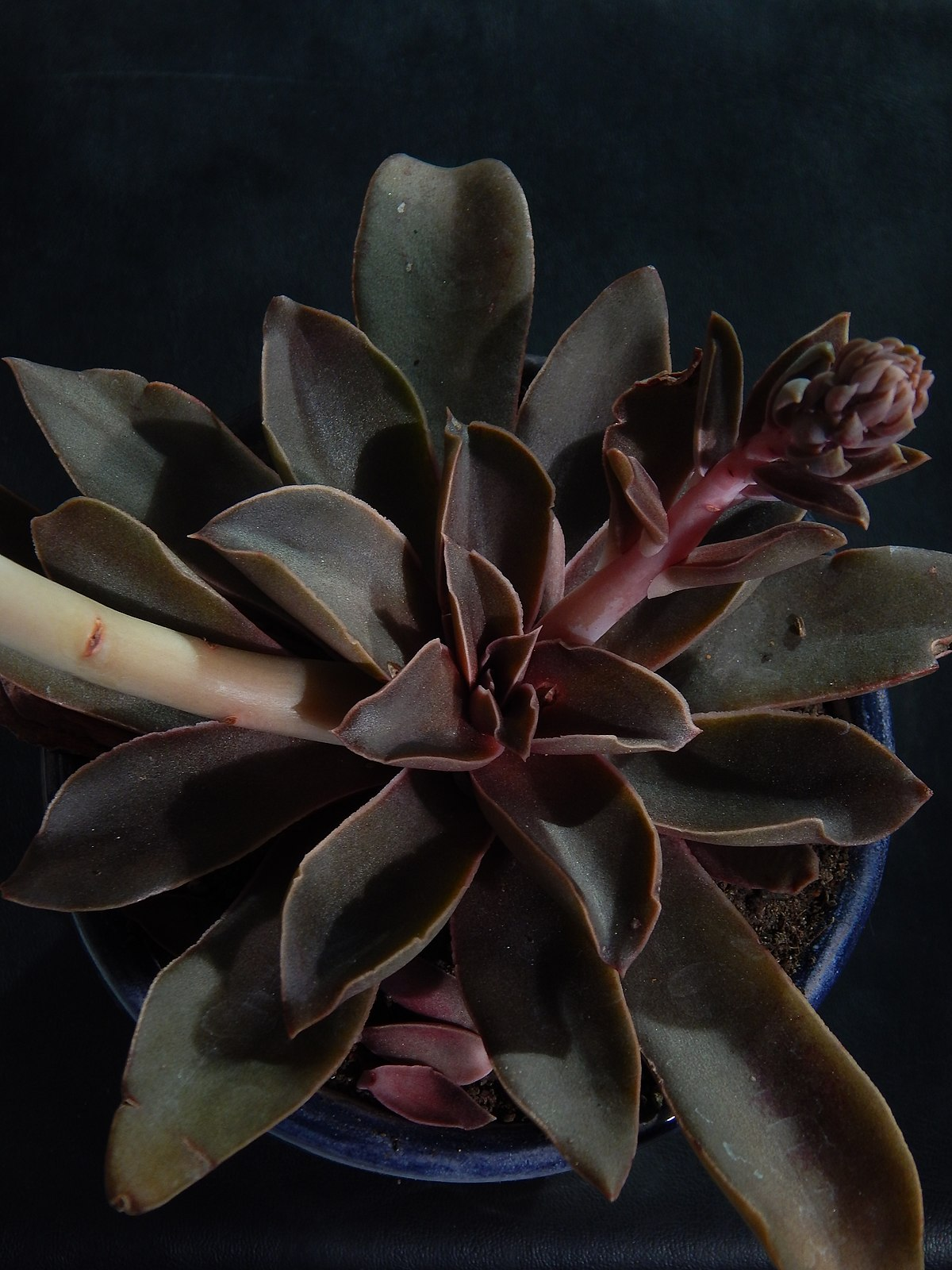 cheapest place to buy succulents