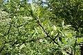 Crataegus orientalis kz02.jpg