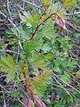 Crataegus sp. (Rosaceae).jpg