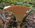 Crater mushroom, sideview (5061695196).jpg