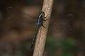 Cratilla lineata-Kadavoor-2016-04-10-001.jpg