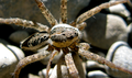 Creekside spider (5789172046).png