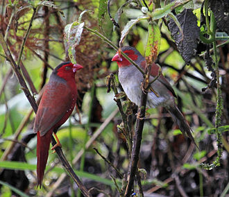Crimson finch - Image: Crimson Finches Breeding Pair Fogg Dam Middle Point, Northern Territory Australia