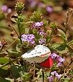 Crimson Tip (Colotis danae)- Male at Hyderabad, AP W 237.jpg