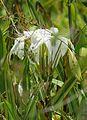 Crinum eburescens (20858756046).jpg