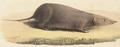Crocidura cinnamomea - 1700-1880 - Print - Iconographia Zoologica - Special Collections University of Amsterdam - UBA01 IZ20900119 (cropped).tif