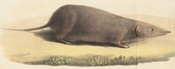 Crocidura cinnamomea - 1700-1880 - Print - Iconographia Zoologica - Special Collections University of Amsterdam - UBA01 IZ20900119 (cropped).tif