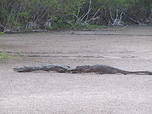 American Crocodiles Left And American Alligators Right Are Usually Tolerant Of One Another In Places Where They Co Exist Such As This Sand Pond In