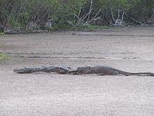 American Alligator Wikipedia - Map of alligators in us