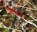 Crocothemis erythraea (Broad Scarlet) - macho.jpg