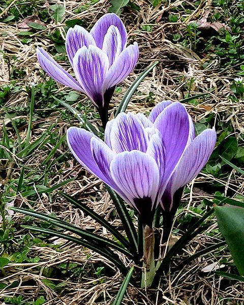 File:Crocus macro flowers.jpg