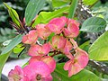 Crown of Thorns Euphorbia x lomi (Unidentified Cultivar) Flowers 3264px.JPG