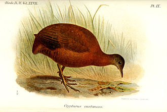 Brown tinamou - Subspecies C. o. castaneus, illustration by Keulemans, 1895