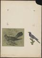 Cuculus canorus - 1700-1880 - Print - Iconographia Zoologica - Special Collections University of Amsterdam - UBA01 IZ18800209.tif