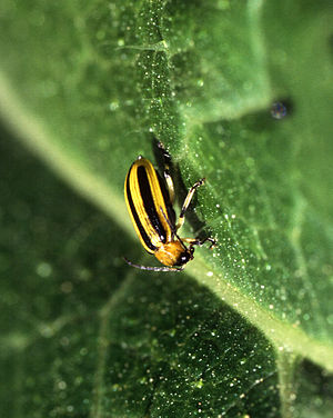 Cucumber beetle from http://www.ars.usda.gov/i...
