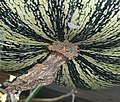 """Cucurbita argyrosperma """"calabaza rayada o cordobesa"""" (Florensa) fruto F05 20160310 vista lateral-distal pétalos marchitos cicatriz (detalle).JPG"""