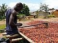 Cultivateur de cacao 02.jpg