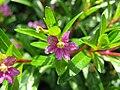 Cuphea hyssopifolia8.jpg