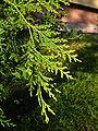 Cupressocyparis leylandii 'Castlewellan Gold' green leafs.jpg