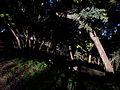 Curico, arboles Condell (9548606091).jpg