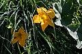 Cvet bundeve 0092.jpg