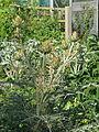 Cynara cardunculus flavescens (14510507293).jpg