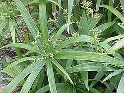 Cyperus diffusus1.jpg