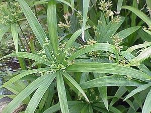 Cyperus - Dwarf umbrella-sedge, Cyperus albostriatus