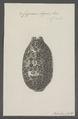 Cypraea argus - - Print - Iconographia Zoologica - Special Collections University of Amsterdam - UBAINV0274 088 02 0016.tif