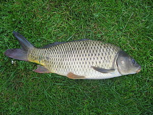 Carp - Common carp, Cyprinus carpio