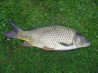Carp various species of cyprinid fishes