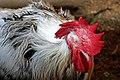 DSC08694 - Hamburg Rooster (36383670944).jpg