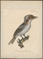 Dacelo gigas - 1825-1834 - Print - Iconographia Zoologica - Special Collections University of Amsterdam - UBA01 IZ16800183.tif