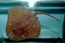 Dactylobatus clarkii.jpg