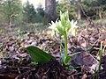 Dactylorhiza sambucina sl19.jpg