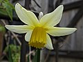 Daffodil (49639743068).jpg