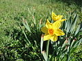 Daffodils along Yaverland Road 2.JPG