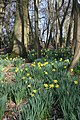 Daffodils in Ickworth Park - geograph.org.uk - 1210941.jpg