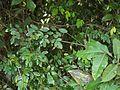 Dalbergia rubiginosa Roxb. (6789441132).jpg