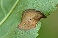 Dasineura fraxinea on fraxinus excelsior (31919217505).jpg