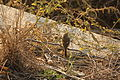 Daurian Redstart (Phoenicurus auroreus), female; Saw (and heard) quite a lot of these. (5222110226).jpg