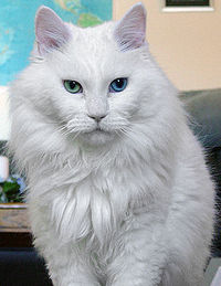 Deaf odd eye white cat sebastian.jpg