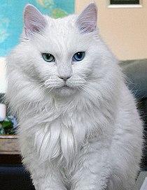 Deaf odd eye white cat sebastian.jpg